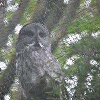 sunday tea hoots 23 - oolong owl tea (4)